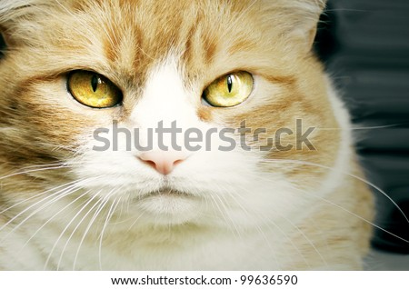 Portrait of a beautiful red cat with golden eyes
