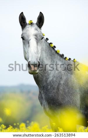 Portrait of a beautiful roan stallion in flowering field - stock photo