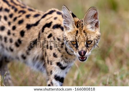 Portrait of a beautiful Serval Cat in Masai Mara, Kenya - stock photo