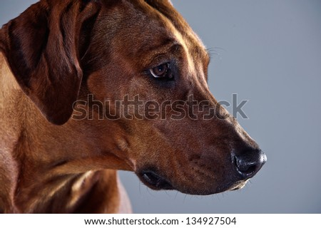 Portrait of a beautiful smart dog rhodesian ridgeback isolated on grey background