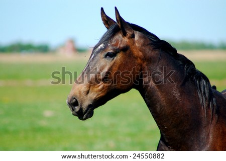 Portrait of a beautiful stallion with brown shiny coat. - stock photo