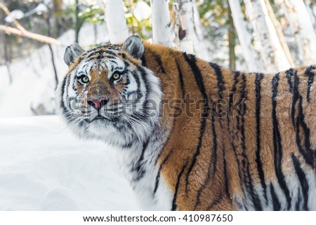 portrait of a beautiful tiger in the snow - stock photo