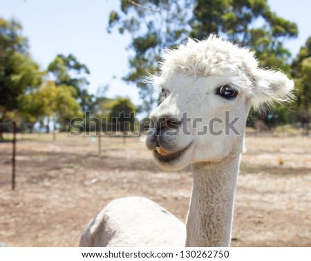 Portrait of a beautiful white alpaca - stock photo