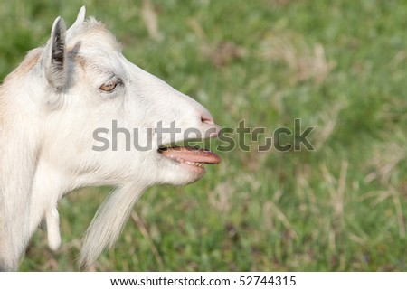 portrait of a beautiful white bleating goats on the background of green grass in summer