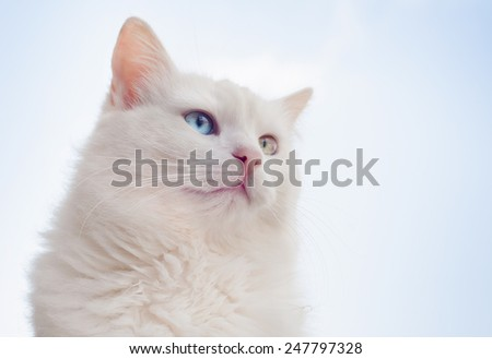 Portrait of a beautiful white cat with different eyes against the sky ...