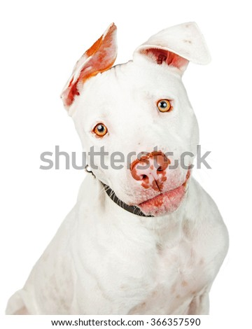 Portrait of a beautiful white color Pit Bull mixed breed dog looking forward into the camera - stock photo