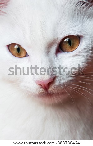 Portrait of a beautiful white fur cat with golden brown fair eyes