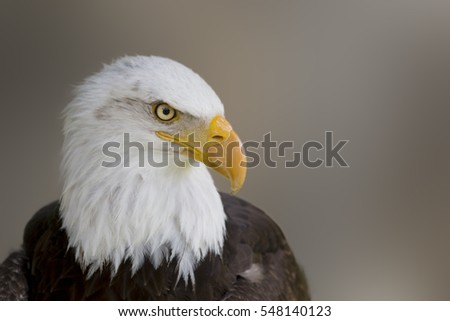 Portrait of a beautiful wild bald eagle