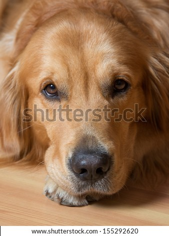 Portrait of a beautiful young dog - golden retriever - stock photo