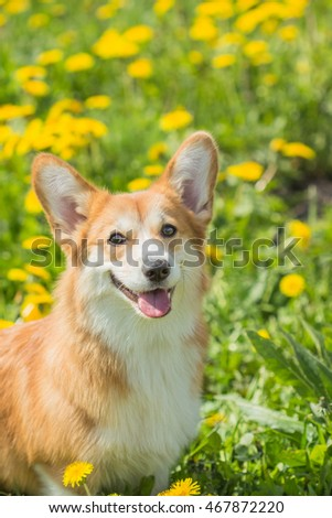 Portrait of a beautiful young dog Welsh Corgi