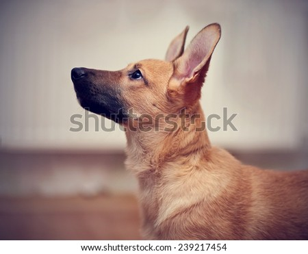 Portrait of a beige puppy. Small not purebred puppy. Mongrel puppy. - stock photo