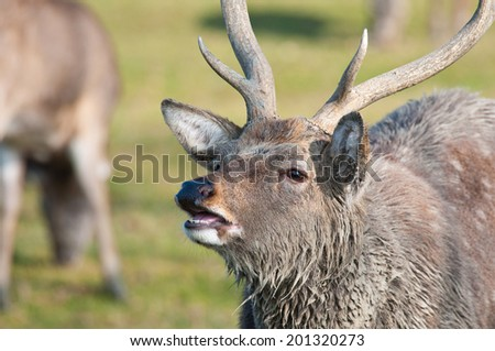 portrait of a belling stag