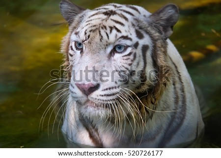 portrait of a bengal tiger.