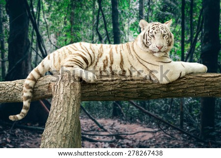 Portrait of a Bengal white tiger lying on a tree in a forest background - stock photo