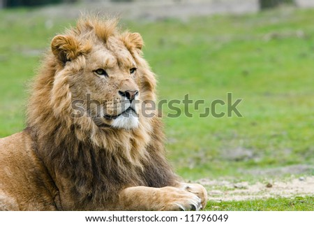 portrait of a big african male lion