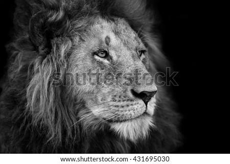 Portrait of a big Lion from Rekero Pride in Masai Mara, Kenya - stock photo