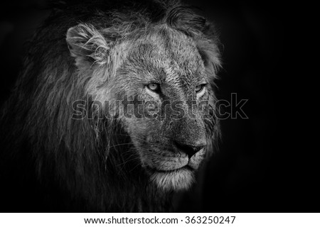 Portrait of a big Lion in Mara Triangle, Kenya