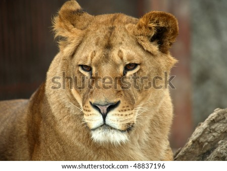 Portrait of a big lion in zoo