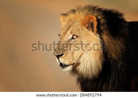 Portrait of a big male African lion (Panthera leo), Kalahari desert, South Africa - stock photo