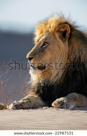 Portrait of a big male African lion (Panthera leo) lying on a sand dune, Kalahari desert, South Africa - stock photo