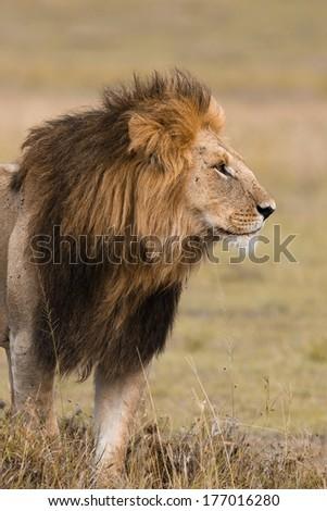 Portrait of a big male lion in Kenya - stock photo