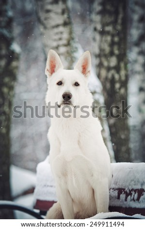 portrait of a Big Shepherd in the snow - stock photo