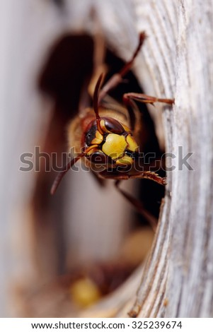 Portrait of a big wasp - a hornet about an entrance to a nest. - stock photo