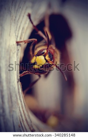 Portrait of a big wasp - a hornet protects an entrance to a nest. - stock photo