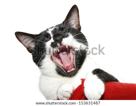 Portrait of a black and white cat yawning