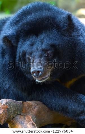Portrait of a black bear on a tree (Ursus thibetanus) - stock photo