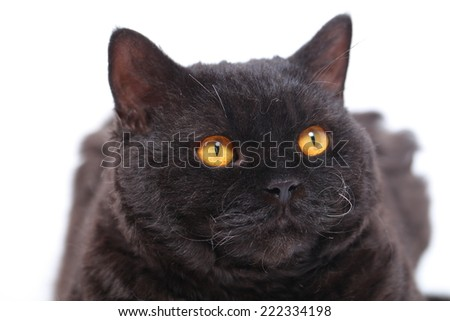 portrait of a black cat sitting on a white background