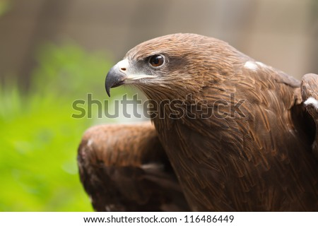 Portrait of a black hawk