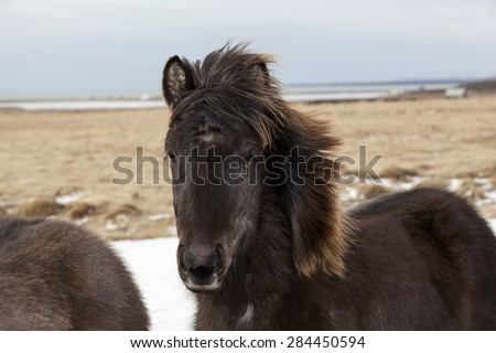 Portrait of a black Icelandic horse on a meadow - stock photo