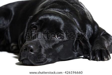 Portrait of a black Labrador Retriever (isolated on white) - stock photo