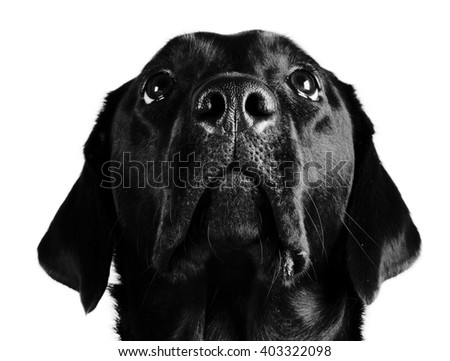 Portrait of a black Labrador Retriever looking up (in black and white) - stock photo