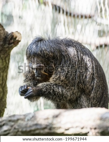 Portrait of a Black-mantled tamarin (Saguinus nigricollis graellsi). - stock photo
