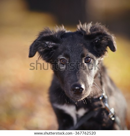 Portrait of a black not purebred puppy in sunny autumn day. - stock photo
