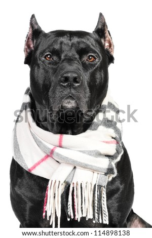 Portrait of a black pit bull dog sitting in studio on a white background listening attentively