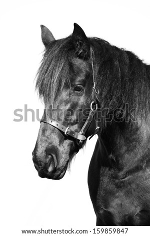 Portrait of a black purebred Frisian horse with leather halter. Image isolated on white studio background.