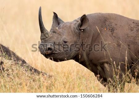 Portrait of a Black Rhino in Masai Mara, Kenya - stock photo