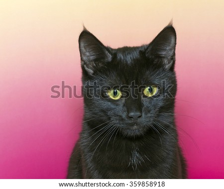 portrait of a black short hair kitten on a pink and yellow textured background. Cat looking forward - stock photo