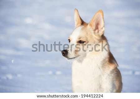 Portrait of a blond dog on a snow background. - stock photo
