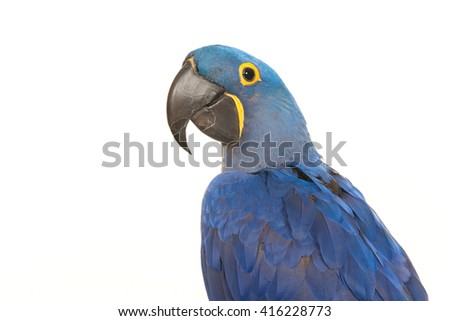 Portrait of a blue parrot a hyacinth macaw seen from the side isolated on a white background