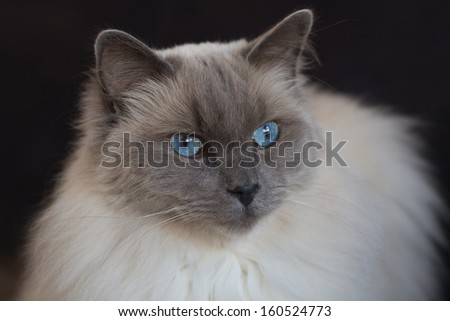 Portrait of a blue point ragdoll on a black background