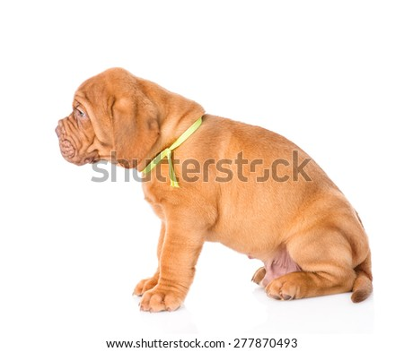 Portrait of a Bordeaux puppy dog in profile. isolated on white background
