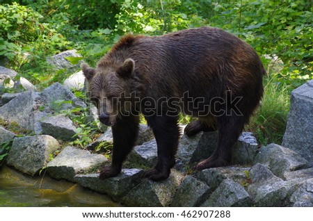 Portrait of a brown bear on the edge of the brook.