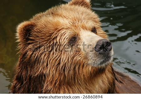 Portrait of a brown bear (Ursus arctos)