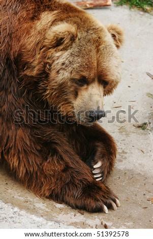 Portrait of a brown bear (Ursus arctos) - stock photo