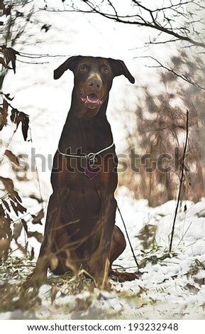portrait of a brown doberman pinscher sitting in winter nature - stock photo