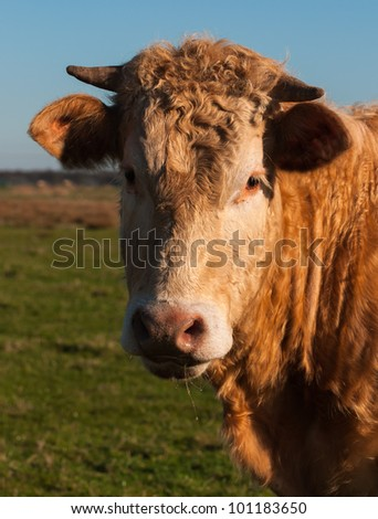 Portrait of a brown Dutch cow with horns against a blurred natural background. - stock photo